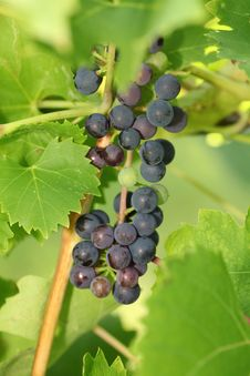 Red Vine Grapes Stock Photo