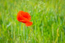 Poppy On A Green Field Stock Image