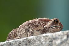 Free Big Toad Sitting And Looking Royalty Free Stock Photos - 31482868