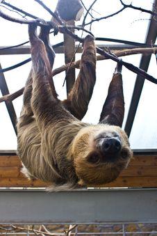 Three-toed Sloth Stock Photography