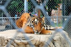 Free Bengal Tiger Royalty Free Stock Image - 31484636
