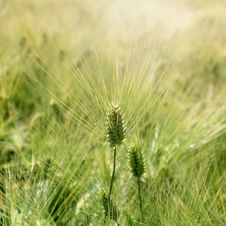 Free Ear Of Barley Royalty Free Stock Photography - 31486437