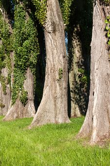 Free Lombardy Poplars Royalty Free Stock Photos - 31489628