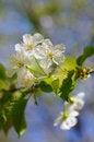 Free White Cherry Blossoms Stock Photos - 31491573