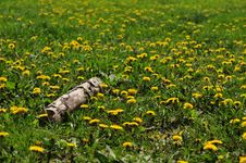 Free Field Of Dandelions Stock Photography - 31491642