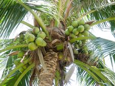 Free Green Coconut Stock Photography - 31494442