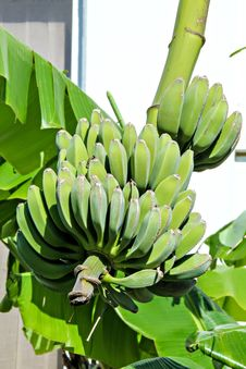 Free Bananas On Tree Stock Images - 31496734