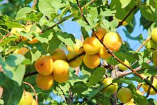 Branch With Apricots In Orchard Stock Images