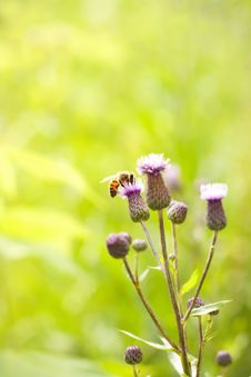 Free Bee On Flower Royalty Free Stock Photography - 31498337