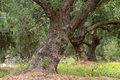 Free Olive Tree Stock Photography - 3151732