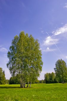 Free Group Of Birches Stock Image - 3150021