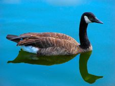 Free Goose In The Blue Water Royalty Free Stock Image - 3150216