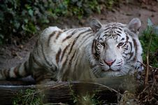 Free White Tiger By Log Royalty Free Stock Image - 3150446
