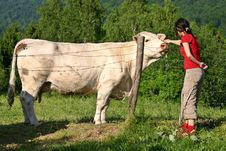 Free Girl And Cow Stock Image - 3150831