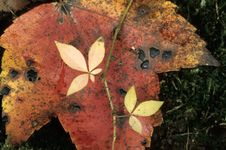 Free Rotting Maple Leaf Royalty Free Stock Photography - 3151357