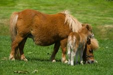 Free Young Pony With Mother 2 Royalty Free Stock Photography - 3151427