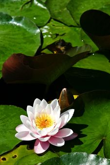 Free Water Lily Stock Image - 3151471