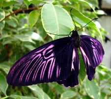 Free Pink And Black Butterfly Stock Photo - 3151580