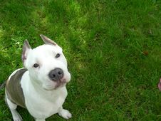 Free American Staffordshire Terrier Stock Image - 3152301