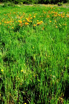 Field Of Grass With Orange Flowers Royalty Free Stock Photos
