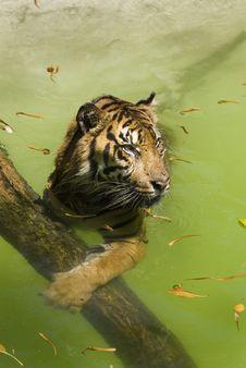 Free Tiger Paw Royalty Free Stock Photo - 3156435