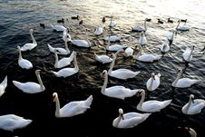 Free Swans Royalty Free Stock Photo - 3156605