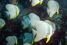 School Of Teira Batfish Royalty Free Stock Images