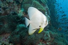 Free Batfish Close-up Stock Photo - 3156950