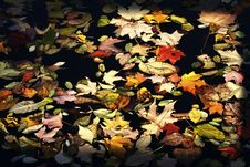 Leaves On A Pond Royalty Free Stock Images