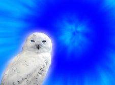 Snowy Owl Royalty Free Stock Photos