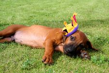 Free Puppy Ridgeback Stock Photography - 3158832