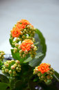 Free Kalanchoe Stock Photos - 31502123