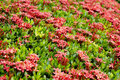 Free Ixora Flowers Stock Photography - 31505452