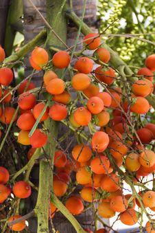 Are-ca Nut Palm On Tree Royalty Free Stock Photos