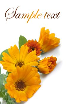 Free Marigolds Stock Images - 31501364