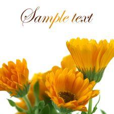 Free Marigolds Stock Photo - 31501470