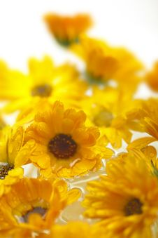 Free Marigolds Royalty Free Stock Photos - 31501478