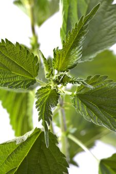 Free Nettle Stock Photography - 31501602