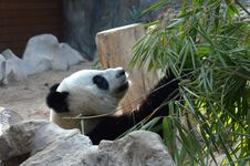 Free Face Of A Giant Panda Stock Photos - 31503303