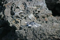 Free Galapagos Penguin Stock Photo - 31513160