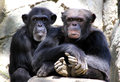 Free Chimpanzees Royalty Free Stock Photography - 31513217