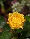 Free Raindrops On Yellow Rose Stock Photos - 31516503