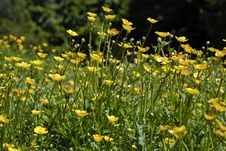 Free Field Of Buttercups Stock Images - 31511054