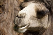 Close Up Of A Camel Royalty Free Stock Images