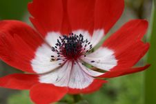 Free Close Up Of Red Anemone Royalty Free Stock Photography - 31511867