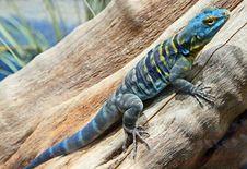 Free Lizard Stock Image - 31512921