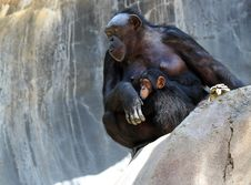 Free Chimpanzee Royalty Free Stock Photography - 31513147