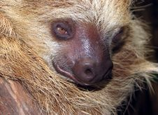 Free Sloth Stock Photos - 31513173