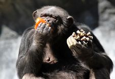 Free Chimpanzee Stock Images - 31513284