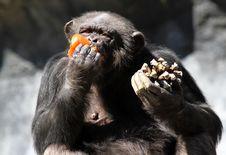 Free Chimpanzee Stock Images - 31513284